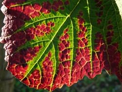 feuille-vigne