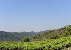 yunnan-tea-garden-2241700_960_720